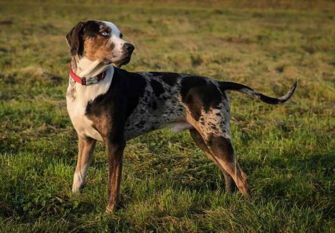 Отличительные черты, особенности ухода и содержания леопардовой собаки катахулы
