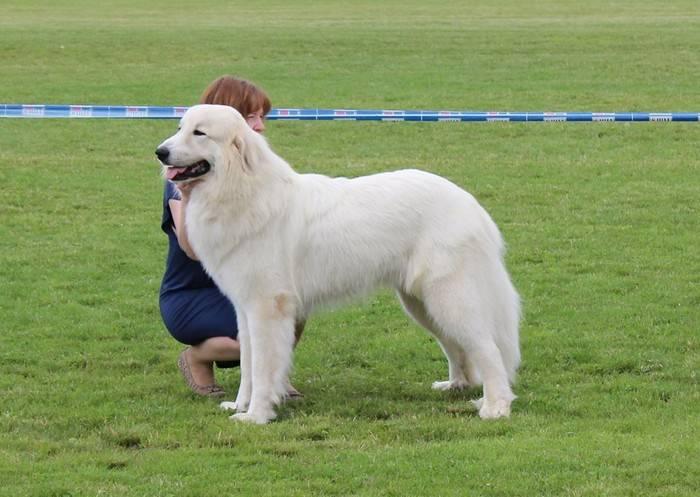 Пиренейская горная собака – энциклопедия о собаках