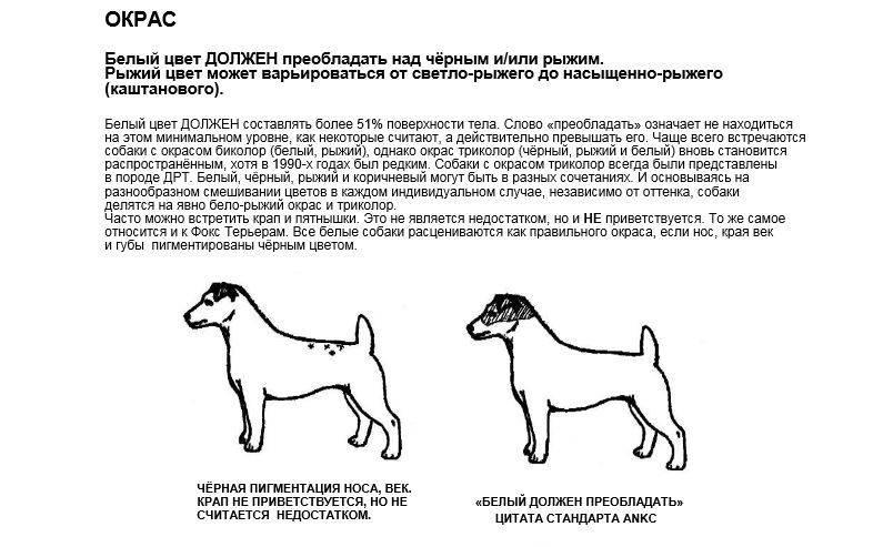 Черный джек-рассел-терьер (25 фото): описание щенков черного окраса. правила содержания собак