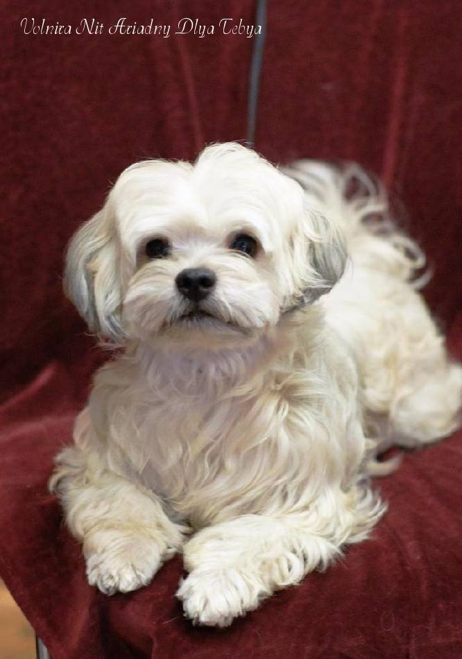 Болонка - собака для души