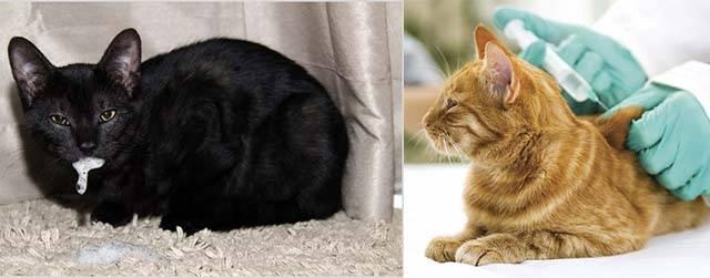 Что делать, если укусила кошка, чем лечить опухоль в домашних условиях, последствия укуса