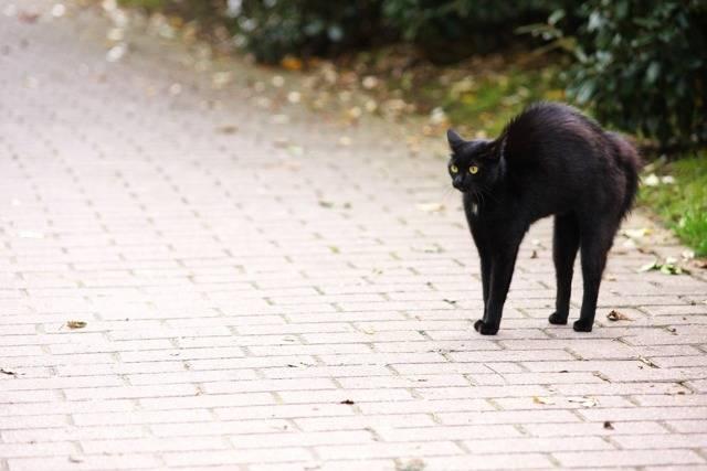 Черный кот или кошка в доме: приметы с положительным и негативным толкованием
