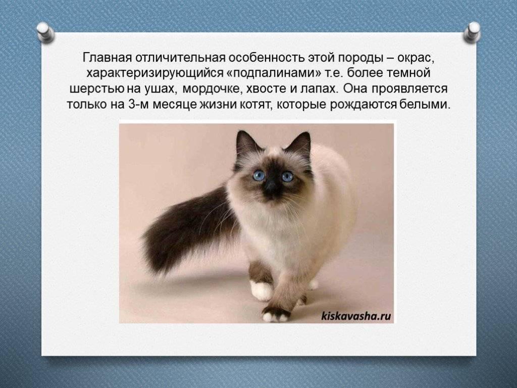 Характер сиамской кошки – активность, социализация, интеллект