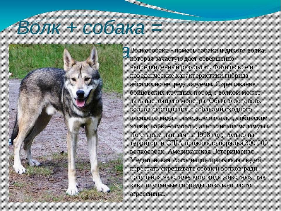 Гибрид собаки и волка: описание