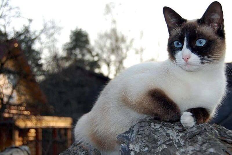 Сноу-шу – кошка в снежных туфельках