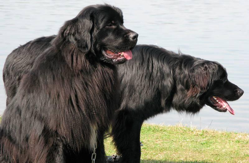 """Ньюфаундленд: описание собаки """"водолаза"""""""