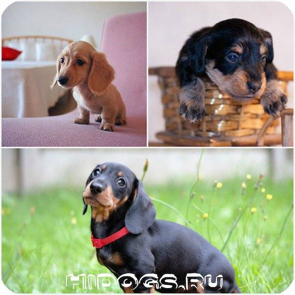 Как назвать таксу: клички для мальчиков и девочек, какое имя можно выбрать для щенка черного цвета, рыжего окраса или русского