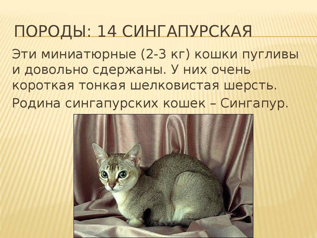 Сингапурская порода кошек. стандарт породы и критерии оценки.
