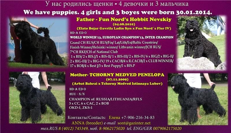 Черный терьер - описание, характеристики и стандарт породы, выращивание щенков, содержание и рацион питание