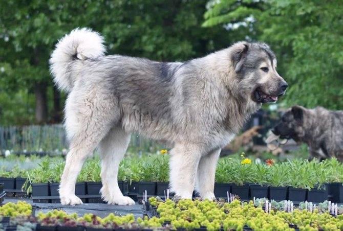 Ирландский волкодав (вольфхаунд), описание породы собак: отличия, характер