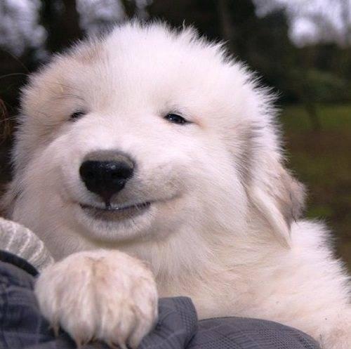 Пиренейская горная собака: описание породы, содержание и уход за белыми собаками