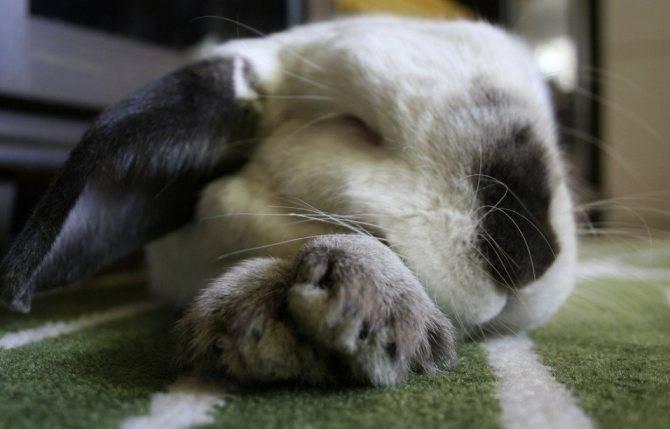 Сколько и как спят кролики