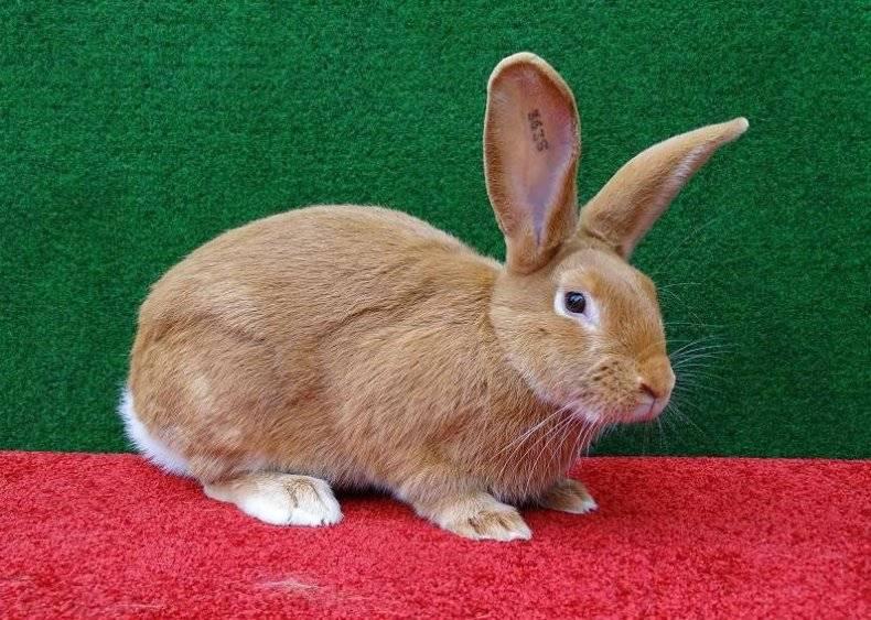ᐉ бургундский кролик - содержание, описание, уход, продуктивность - zooon.ru