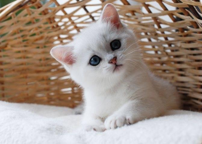 Кошки шиншиллы серебристые: описание, характер, уход, требования к стандарту, цена