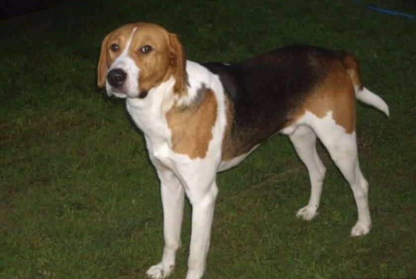 Порода собак русская пегая гончая: описание, фото, видео