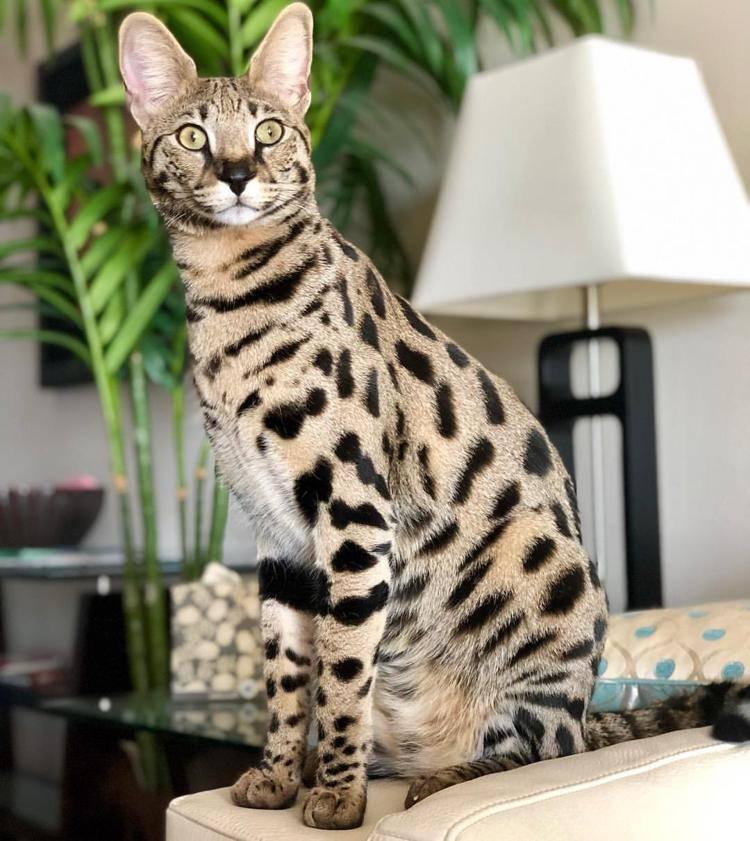 Мировые красавцы: какая порода кошек самая красивая