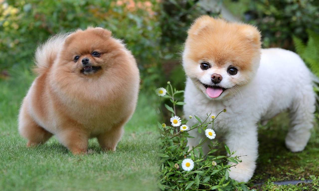 Маленькие породы собак с названиями, размером и фото | petguru