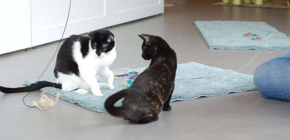 Почему дерутся кошки
