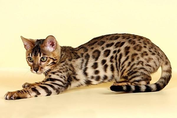 Поведение кошек: раскрываем секреты особенностей психологии животных