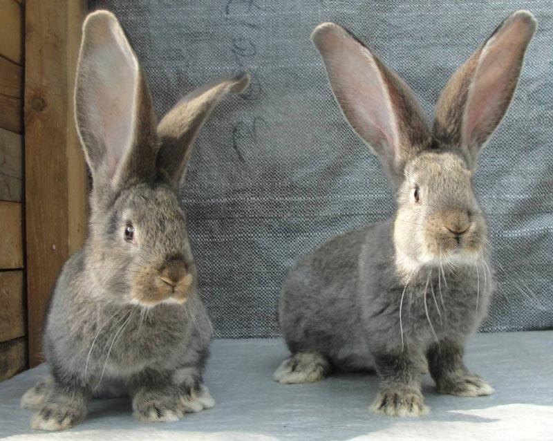 Фландер: поведение, кормление и содержание кролика в домашних условиях