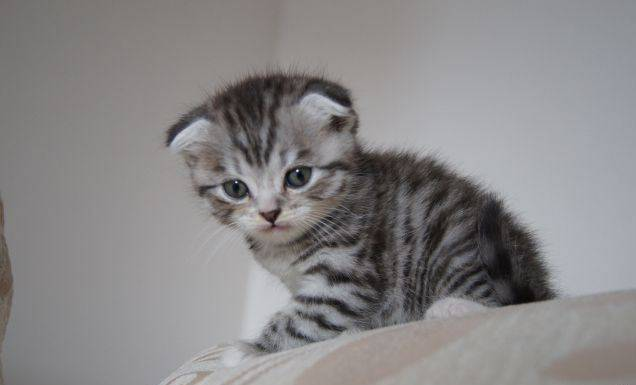 Шотландская вислоухая – кошка, похожая на совенка