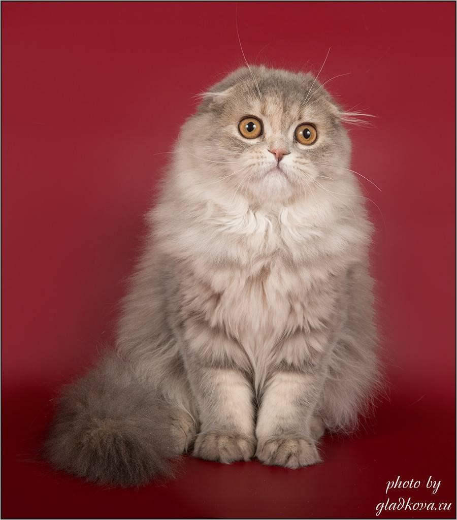 Скоттиш-фолд: 28 фото шотландской вислоухой кошки, описание породы, цена котенка