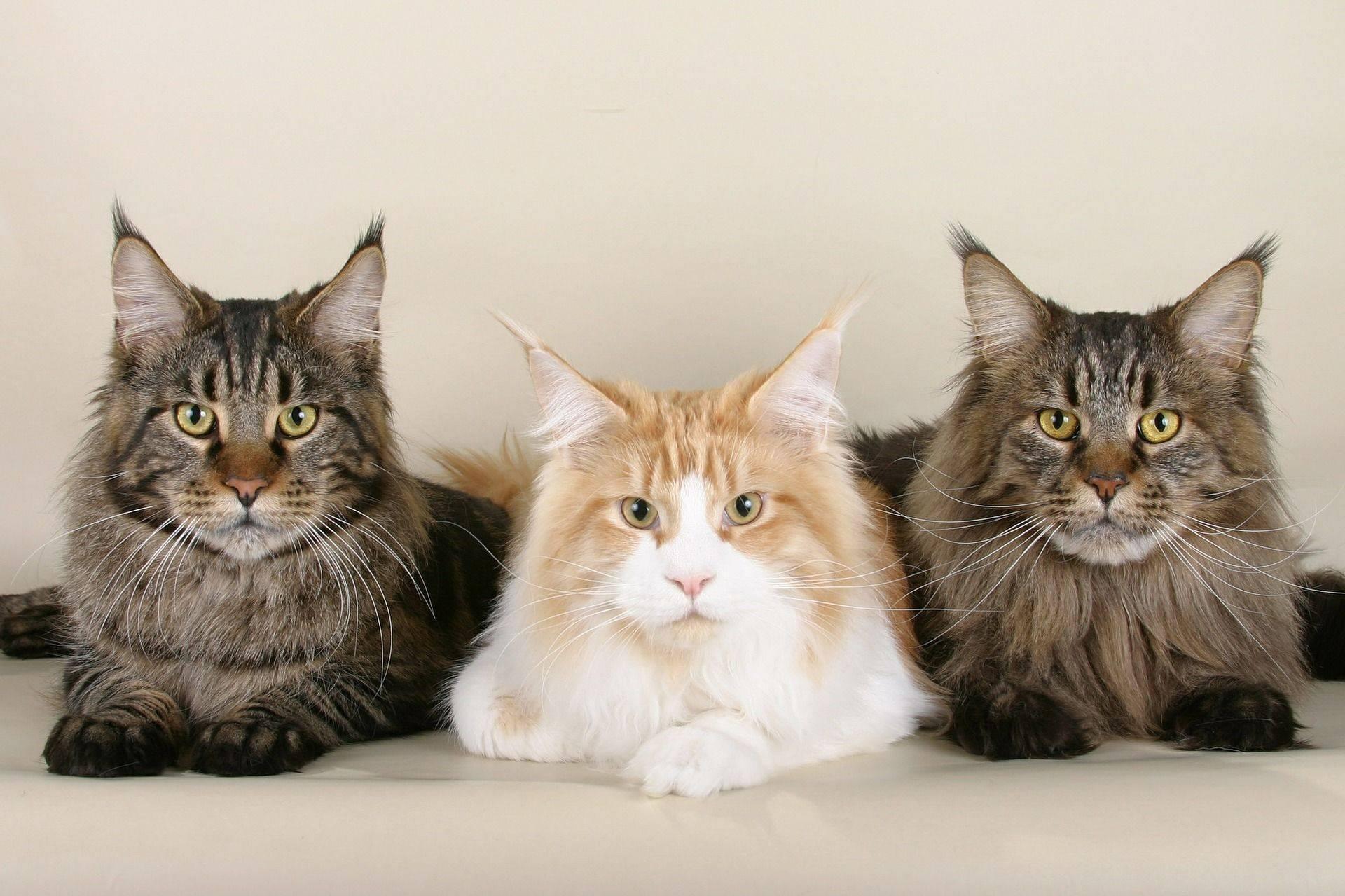 Какую породу кота выбрать