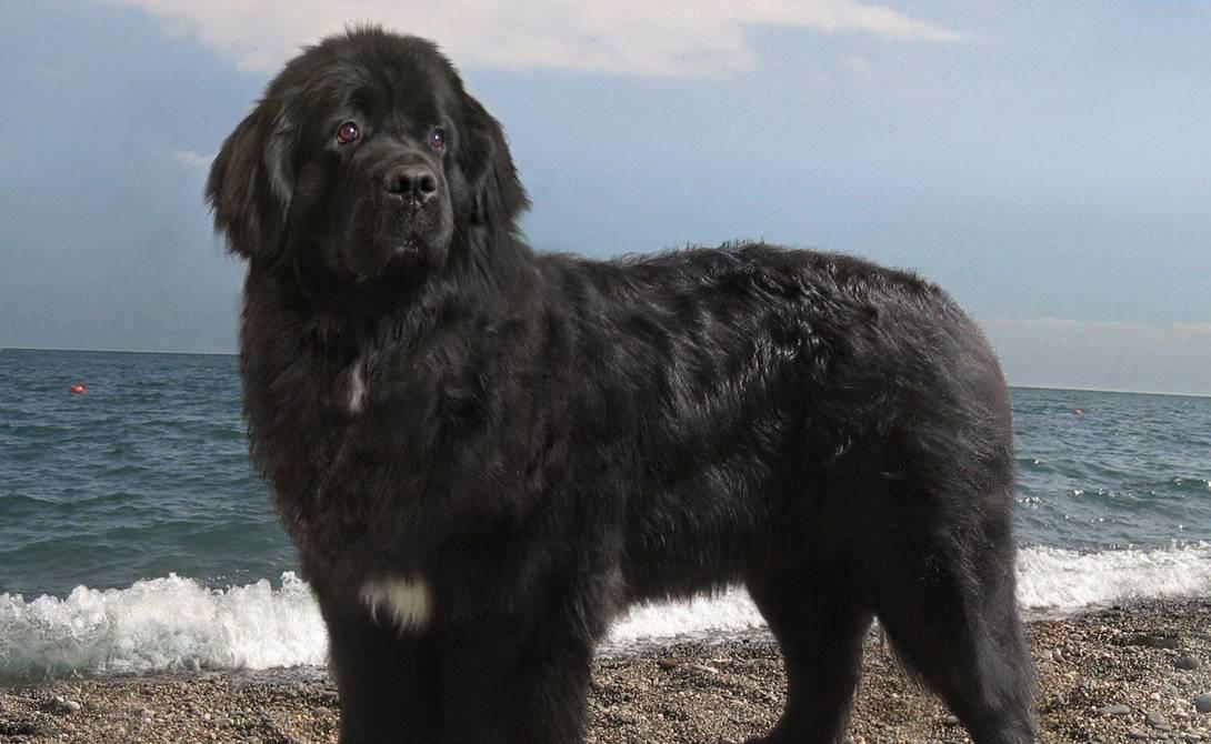 Ньюфаундленд: порода собаки водолаз, идеальный питомец для всей семьи