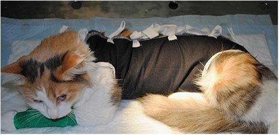 Стерилизация кошки: причины операции, как ухаживать за домашним любимцем и питание в послеоперационный период