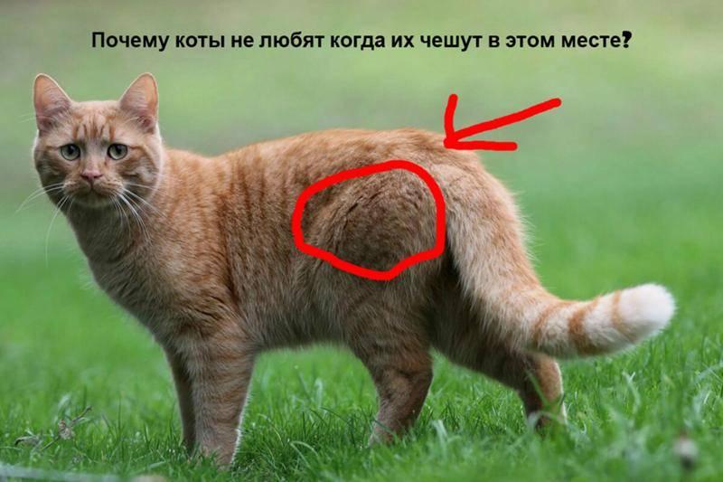 Почему кошка ходит за мной по пятам и мяукает без причины