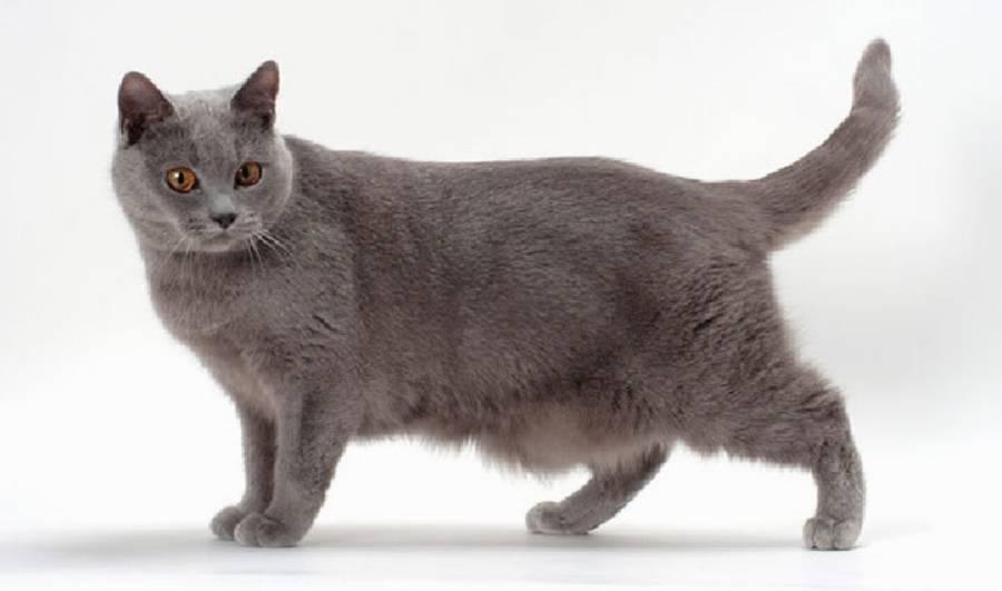 Кошка шартрез: особенности характера и содержания