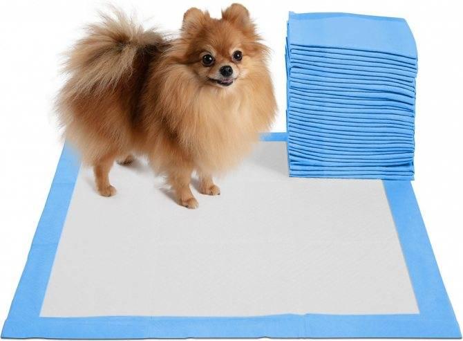 Приучение шпица к туалету: использование пеленки и лотка в квартире, выгул пса