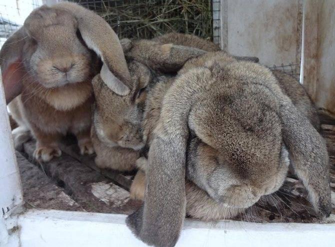 Кролики породы баран - описание, разведение, фото и видео | россельхоз.рф