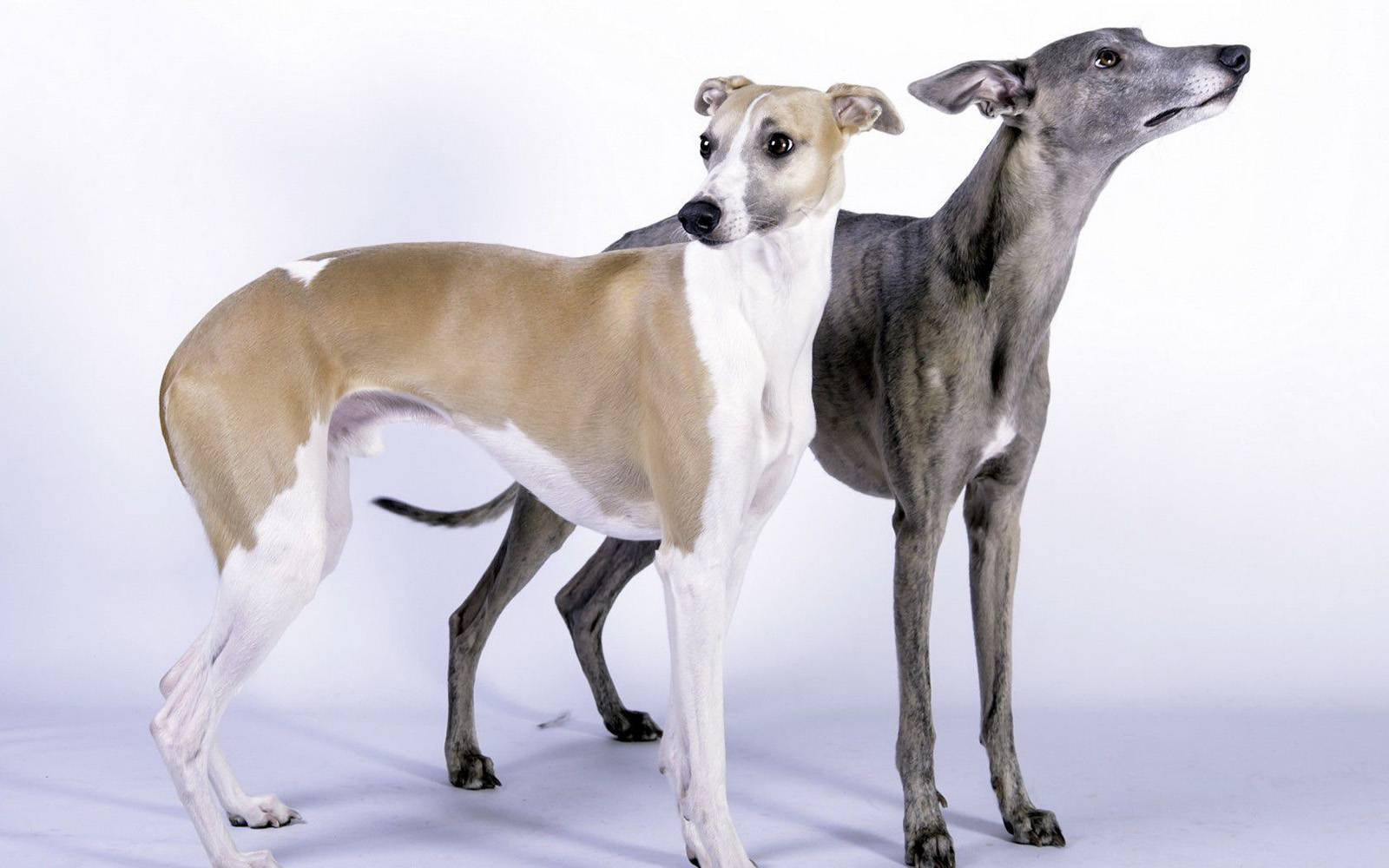Описание собак породы левретка