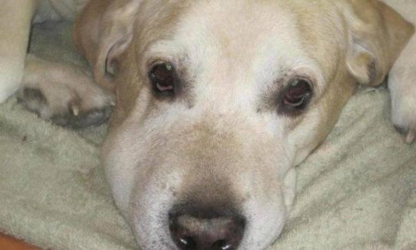 Паралич лицевого нерва у собаки: что такое паралич, причины паралича, симптомы, лечение, меры профилактики