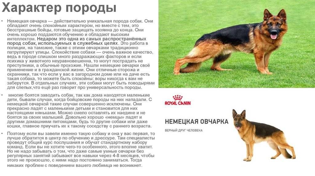 Восточноевропейская овчарка: характеристика породы и содержание