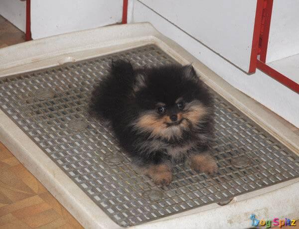 Учим щенка породы шпиц ходить на пеленку и пользоваться лотком туалетом