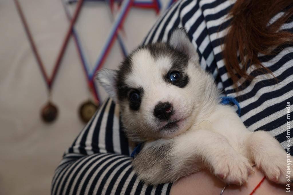 Как назвать хаски - имена для мальчиков и девочек | собачий блог