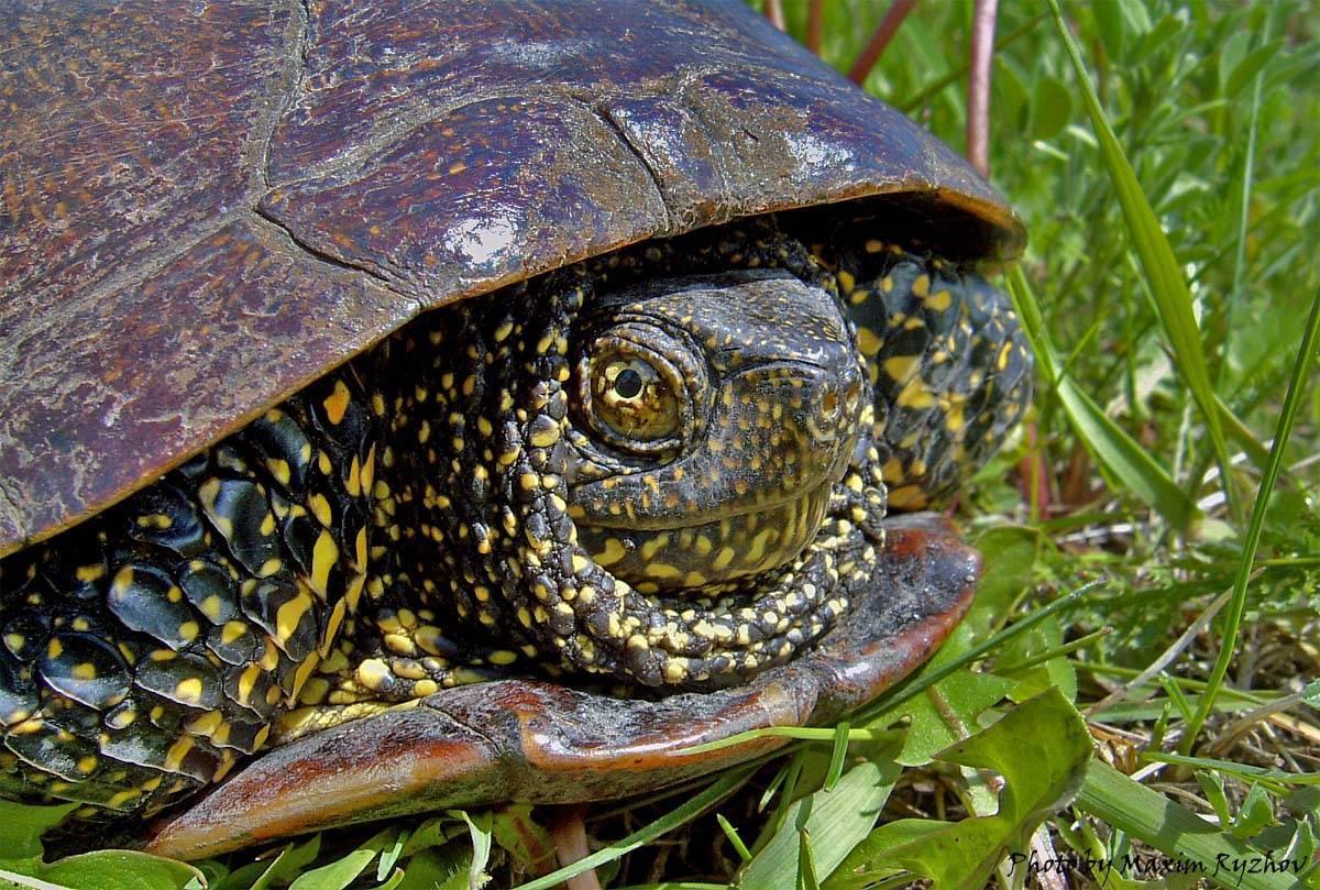 Европейская болотная черепаха: фото, описание, содержание, разведение, питание европейская болотная черепаха: фото, описание, содержание, разведение, питание