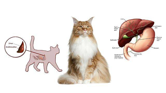 Заболевания печени у кошек: симптомы и лечение