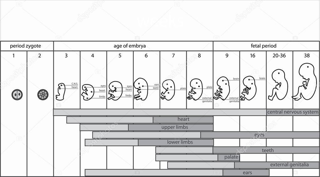 Подробный календарь беременности у собак по дням в течении всего периода