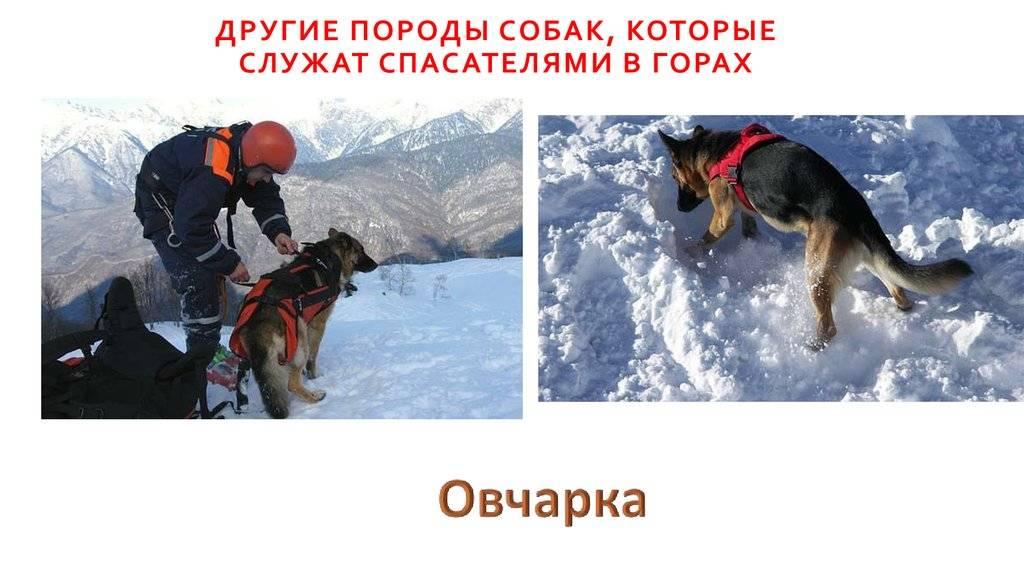 Собаки-спасатели: породы, подготовка, особенности характера