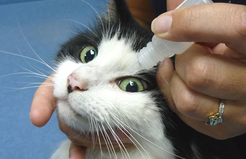 У котенка гноятся глаза: чем лечить в домашних условиях