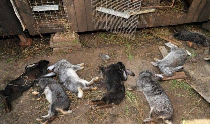 Почему умирают кролики - декоративные кролики