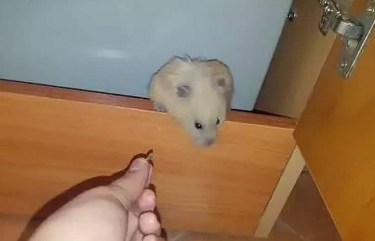 ᐉ как найти хомяка в квартире если он сбежал из клетки - zoopalitra-spb.ru