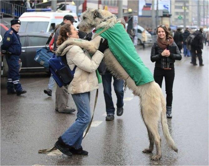 Как научить собаку прыгать через барьер, команда барьер - dogtricks.ru