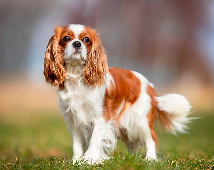Кавалер кинг-чарльз-спаниель: плюсы и минусы породы собаки | плюсы и минусы