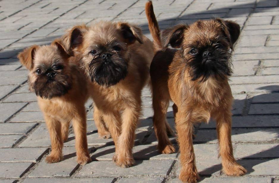 Описание породы бельгийского и брюссельского гриффона, особенности, уход и содержание собак
