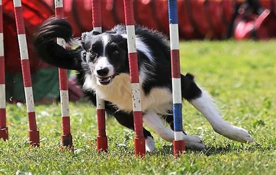 Аджилити: специфика спорта для активных собак