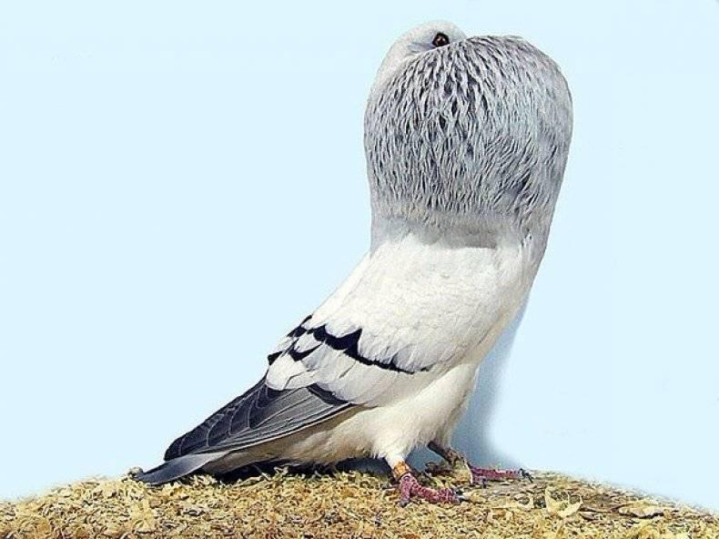 Виды голубей. описание, особенности, названия и фото видов голубей | живность.ру